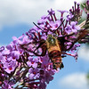September 8 2019 - Hummingbird Moth