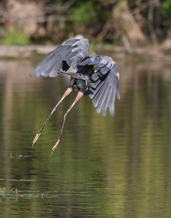 September 10 2019 - Great Blue Heron