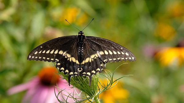 September 9 2019 - Swallowtail Butterfly