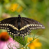 September 9 2019 - Swallowtail Butterfly
