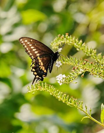September 14 2019 - Swallowtail Butterfly