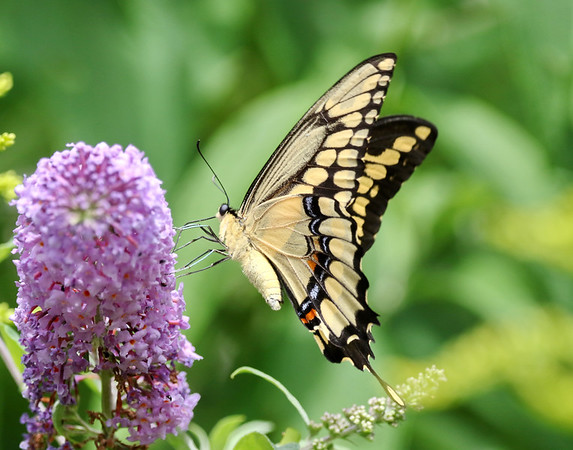 September 3 2019 - Swallowtail