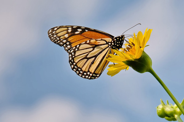 September 29 2019 - Monarch Butterfly