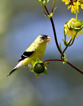 September 25 2019 - Goldfinch