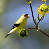 September 25 2019 - Goldfinch