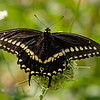 September 26 2019 - Swallowtail Butterfly