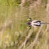 September 27 2019 - Mallard Duck