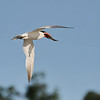 September 11 2019 - Caspian Tern