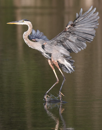 September 16 2019 - Great Blue Heron