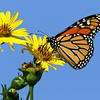 September 12 2019 - Monarch Butterfly