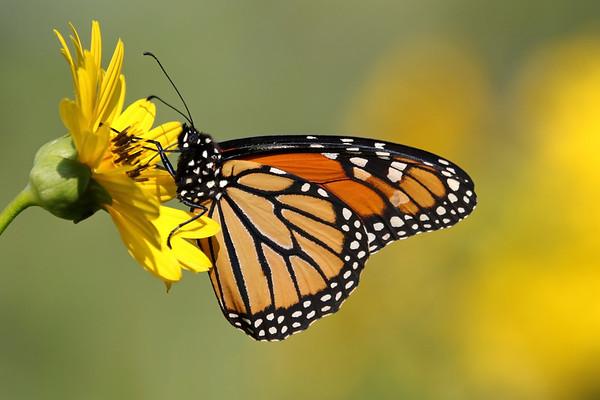 September 23 2019 - Monarch Butterfly