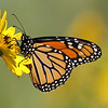 September 23 2019 - Monarch Butterfly