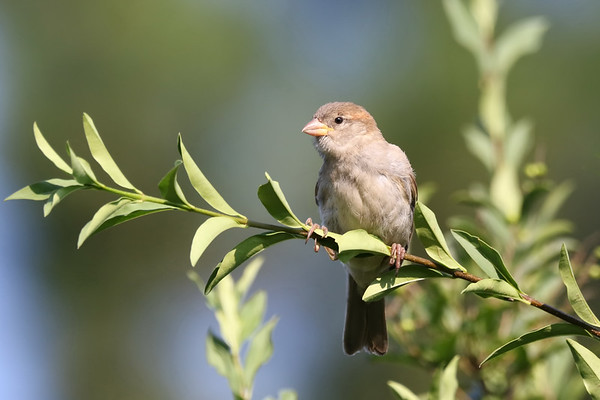 September 19 2019 - Sparrow