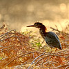 September 7 2019 - Green Heron