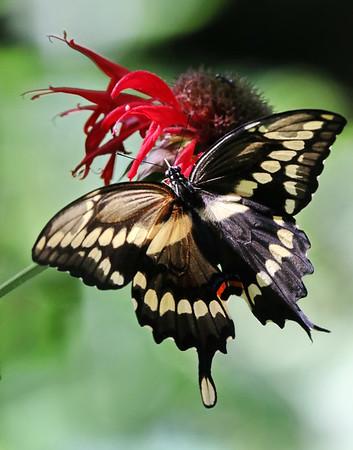 September 21 2019 - Swallowtail Butterfly