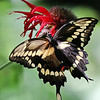 September 21 2019 - Swallowtail Butterfly