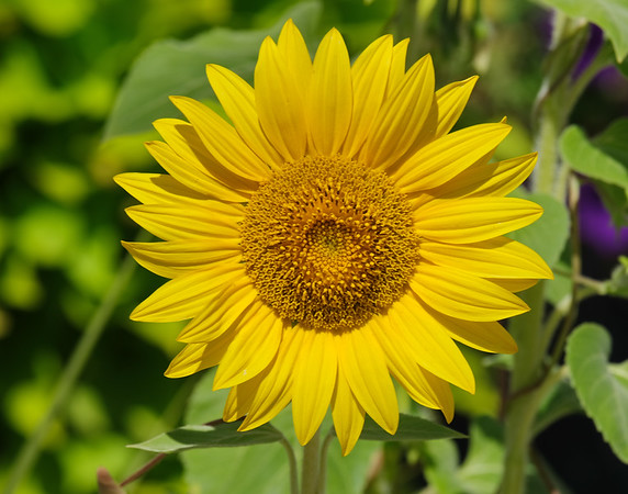 September 1 2019 - Sunflower