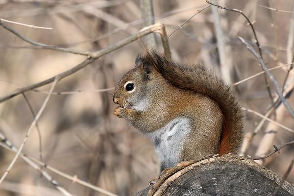 April 14 2020 - Red Squirrel
