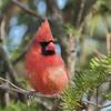 April 29 2020 - Cardinal