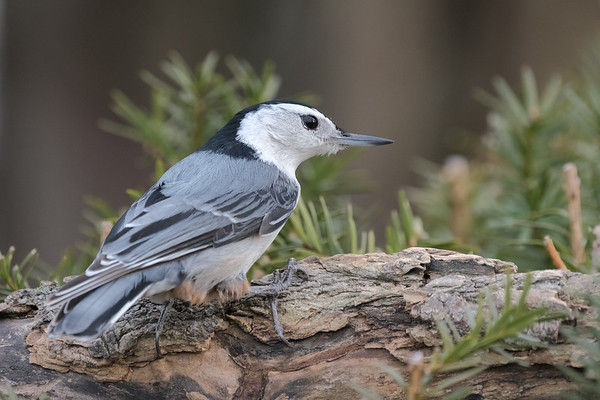 April 24 2020 - Nuthatch