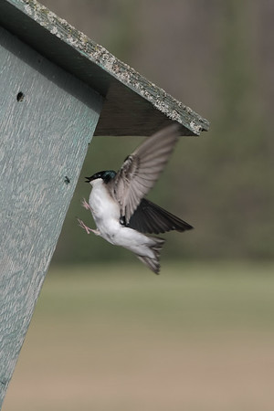 April 15 2020 - Swallow