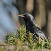 April 5 2020 - Starling