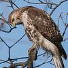 April 28 2020 - Hawk