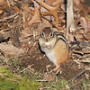 April 22 2020 - Chipmunk