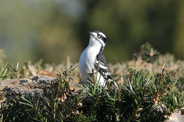 April 8 2020 - Downy Woodpecker