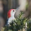April 4 2020 - Red Bellied Woodpecker