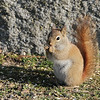April 3 2020 - Red Squirrel