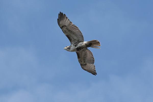April 17 2020 - Hawk