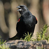 April 26 2020 - Red Winged Blackbird