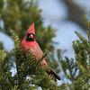 April 21 2020 - Cardinal