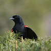 April 19 2020 - Red Winged Blackbird