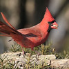 December 20 2020 - Northern Cardinal