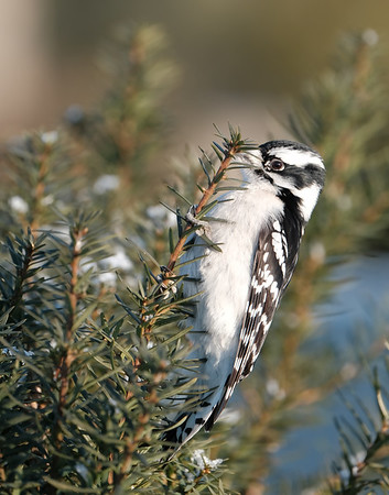 December 31 2020 - Downy Woodpecker