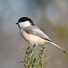 December 22 2020 - Chickadee