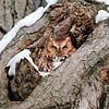 December 30 2020 - Screech Owl