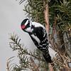 February 11 2020 - Downy Woodpecker