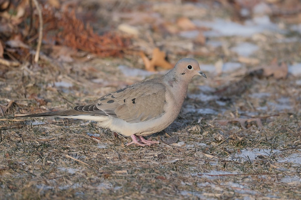 February 29 2020 - Mourning Dove