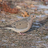 February 29 2020 - Mourning Dove