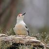February 10 2020 - Red Bellied Woodpecker