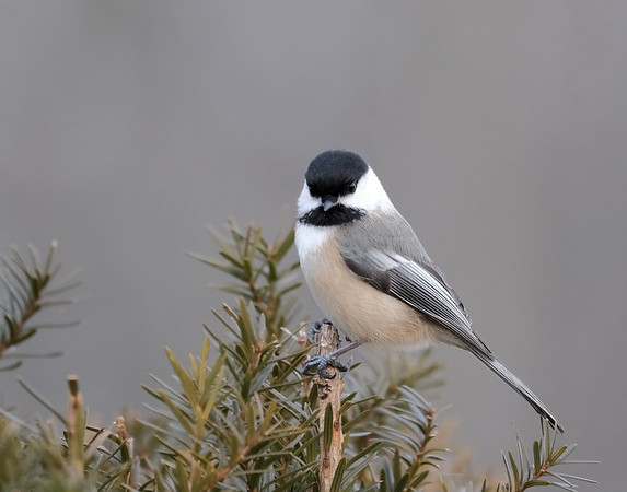 February 18 2020 - Chickadee