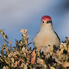 February 16 2020 - Red Bellied Woodpecker