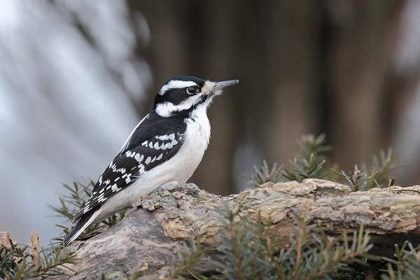 February 19 2020 - Downy Woodpecker