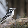 February 19 2020 - Downy Woodpecker