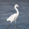 February 14 2020 - Snowy Egret