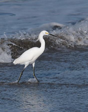 February 1 2020 - Snowy Egret