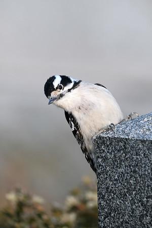 February 26 2020 - Downy Woodpecker